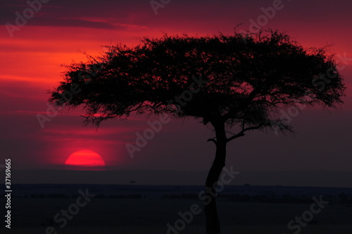 Silhouette of acacia tree at sunset Poster