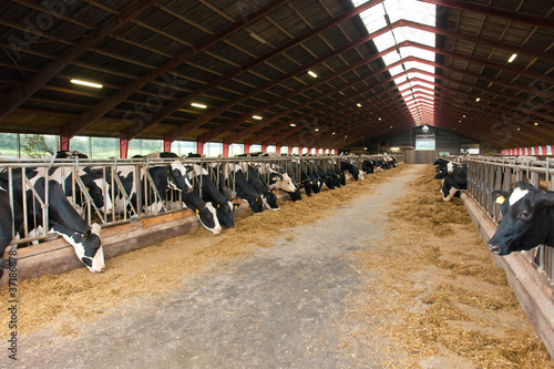 Fotografie, Obraz  Modern farm cowshed with cows