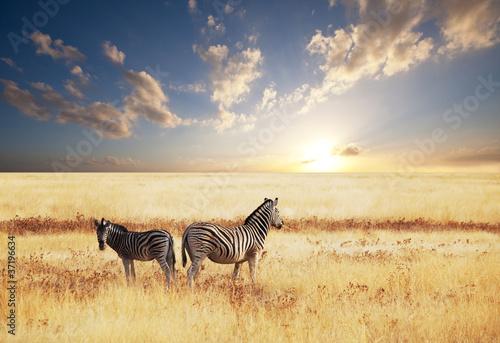 Wall Murals Africa Zebra