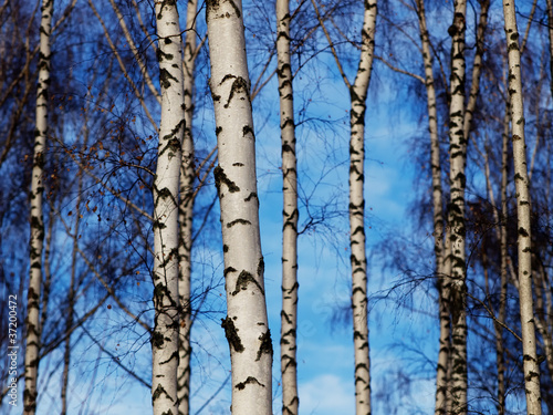 Foto op Plexiglas Berkbosje Birch trunks background