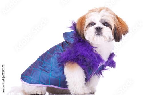 Fotografija  shih tzu puppy  dressed  like a pimp