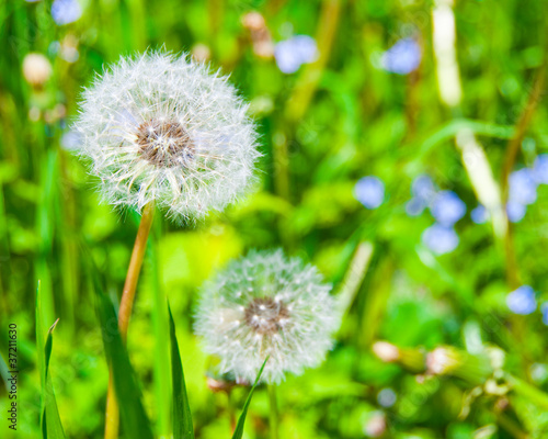 Fototapety, obrazy: Two dandelions
