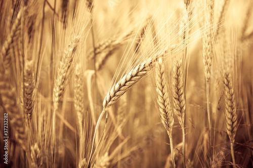 uszy-pszenicy