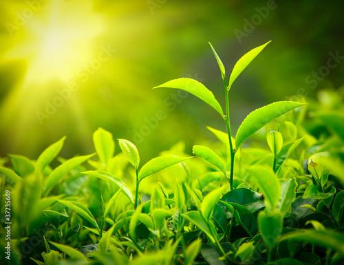 Staande foto India Tea bud and leaves