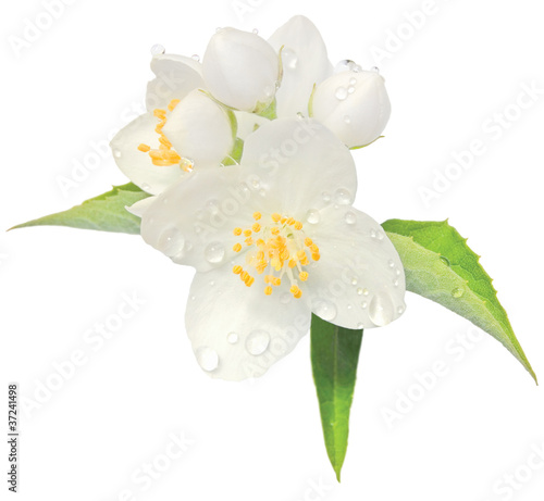 Fotografie, Obraz  Jasmine flower mock orange blossom macro closeup isolated