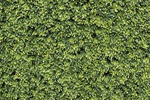 Lush Green Hedge Suitable For ...