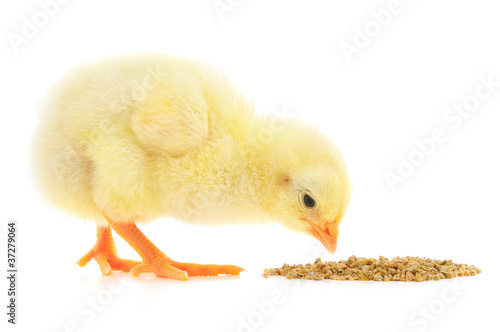 Canvas-taulu Baby chicken having a meal