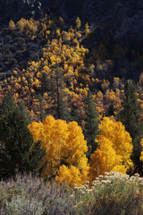 Pines and Yellow Aspens