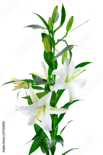Poster Bamboe Beautiful white lily flowers