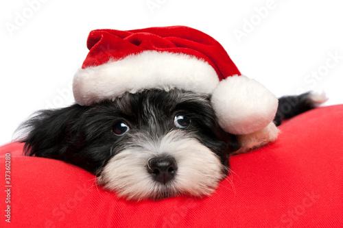 Foto op Plexiglas Kerstmis Cute Christmas havanese puppy dog