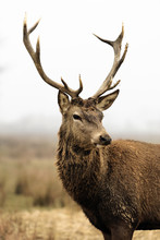 Deer In Morning Fog