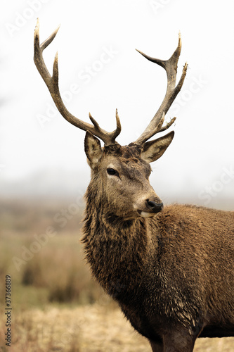 Deurstickers Hert deer in morning fog