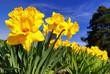canvas print picture - Osterglocken, Narcissus pseudonarcissus, Amaryllidaceae