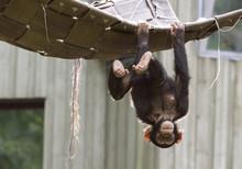Playing Chimpanzee