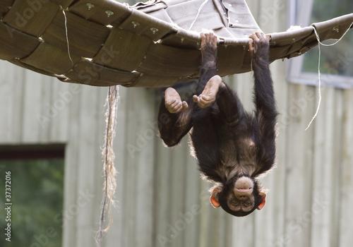 Canvas Playing chimpanzee
