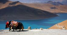Black Tibetan Yak In Front Of A Blue Lake