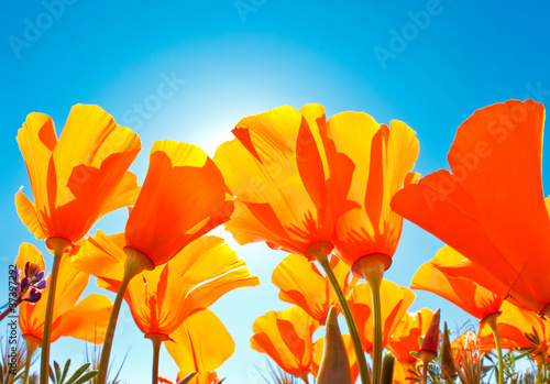 Poster Poppy Field of Flowers with Blue Sky, Macro View
