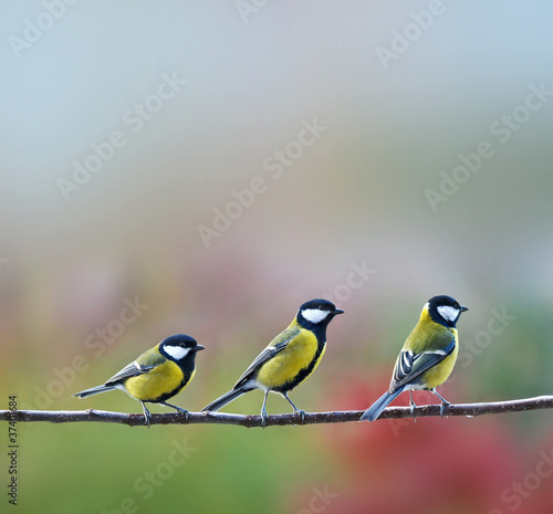Deurstickers Vogel three titmouses birds