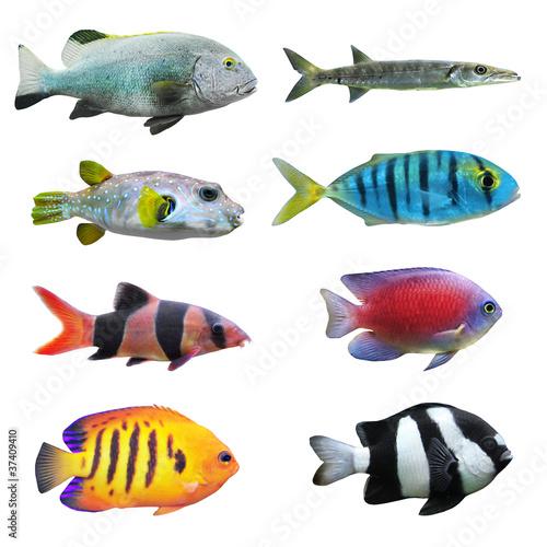 wielka-kolekcja-tropikalnej-ryby-na-bialym-tle