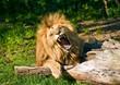 Angola lion roars (Panthera leo bleyenbergi)