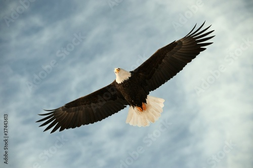 Fototapeta Bald eagle in flight awaiting fish feeding