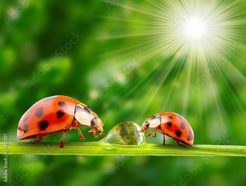 Canvas Prints Ladybugs Ladybugs on a dewy grass.