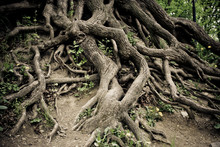 Twisted Old Tree Roots