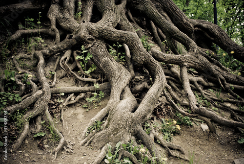 Cuadros en Lienzo Twisted old tree roots