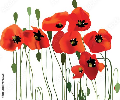 poppy flower, vector illustration