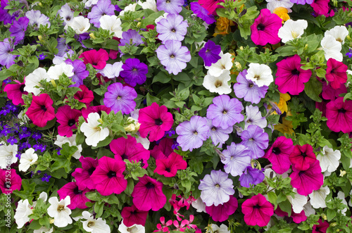 Valokuvatapetti Colorful petunia flowers close up.