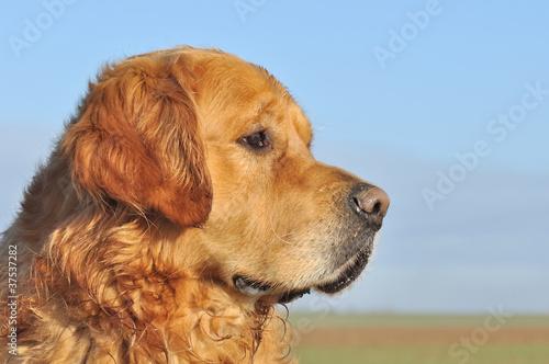 Fotografie, Obraz  profil d'un glden retriever