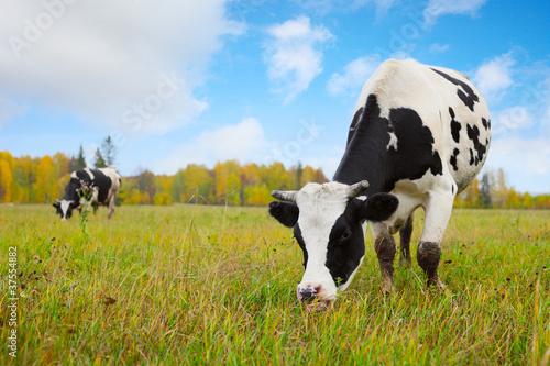 Aluminium Prints Cow Herd