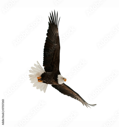 Spoed Foto op Canvas Eagle The Bald Eagle (Haliaeetus leucocephalus)