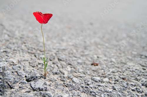 A Single red Poppy - 37581832
