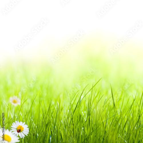 Papiers peints Vert chaux printemps, pâquerettes et coccinelle pelouse verte
