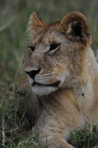 Photo  Portrait of lioness