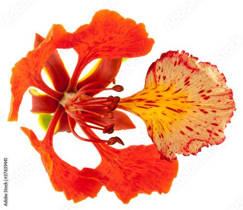 Fleur Flamboyant Acheter Cette Photo Libre De Droit Et Decouvrir