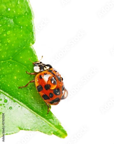 ladybird on dewy leaf
