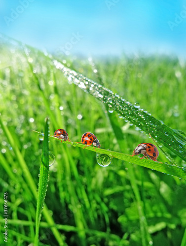 Poster Lieveheersbeestjes three ladybirds in the grass