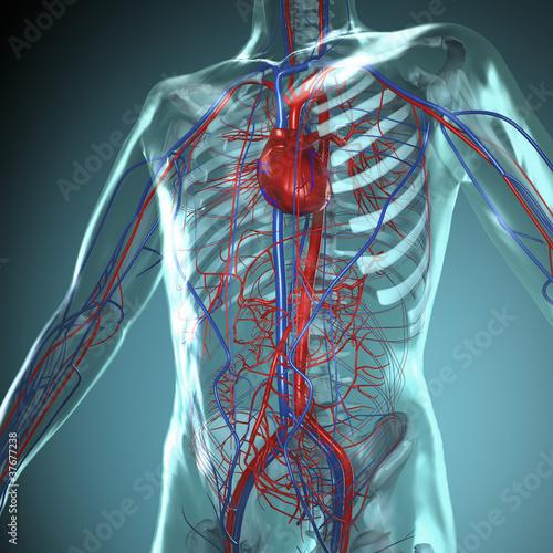 Fotografie, Obraz  Anatomie Modell, Herz-Kreislauf System des Menschen