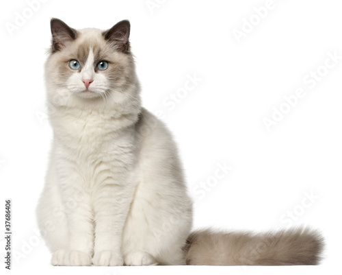 Valokuvatapetti Ragdoll cat, 6 months old, sitting in front of white background