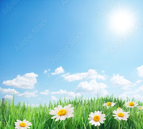 Fototapety, obrazy: Daisy field in the sunny summer day.