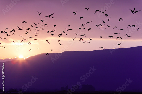Fotomural Flock of Birds Flying at the Sunset above Mountian at the sunset