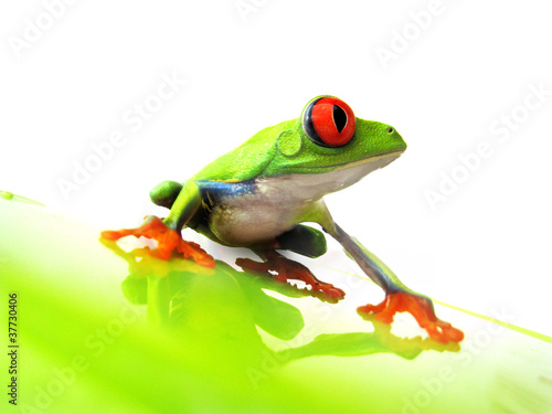 Foto auf Leinwand Frosch Rotaugenlaubfrosch 111 Agalychnis callidryas