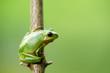 Frosch laubfrosch grün schön