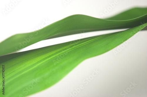 Hojas de palmera sobre fondo blanco. #37742633