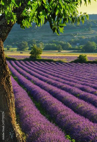 Spoed Foto op Canvas Lavendel lavande 4