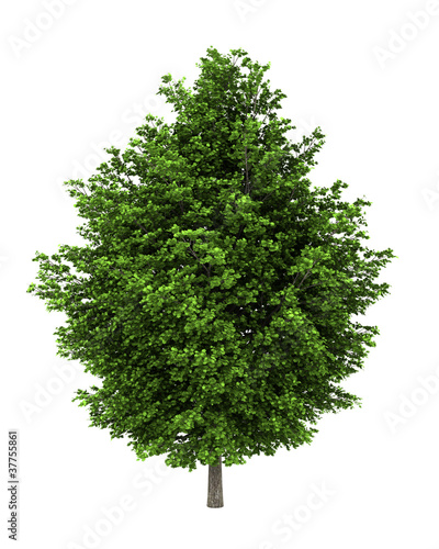 silver maple tree isolated on white background