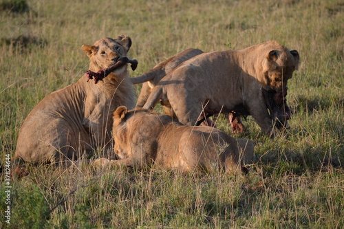 Canvas Prints Grocery Young lions are eating in Kenia