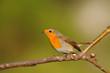 Pettirosso uccello